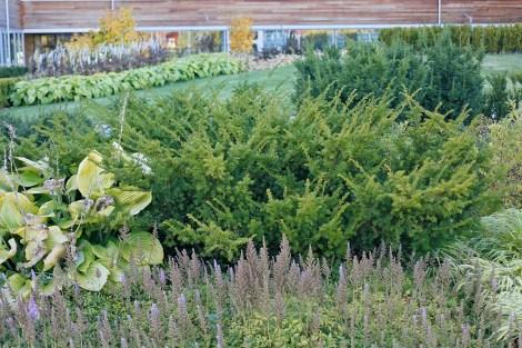 Hybrididegran, Taxus x media 'Green Mountain'