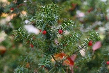 Japansk dvärgidegran, Taxus cuspidata 'Nana' barr och bär