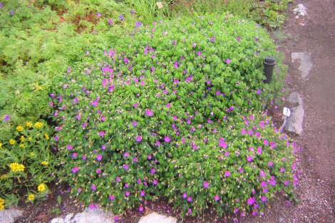 Blodnäva, Geranium sanguineum