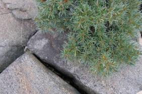Havtorn, Hippophae rhamnoides