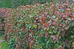 Häck av häckhagtorn, Crataegus flabellata, på hösten