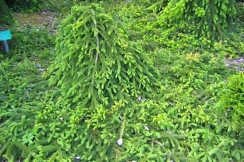 Hänggran, Picea abies 'Frohburg'