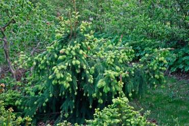 Kottegran, Picea abies 'Acrocona' försommar