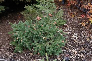 Kottegran, Picea abies 'Acrocona' höst