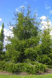Ormgran, Picea abies f virgata, försommar