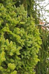 Pelargran, Picea abies 'Cupressina'