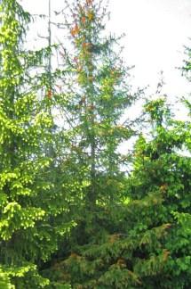Smultrongran, Picea abies