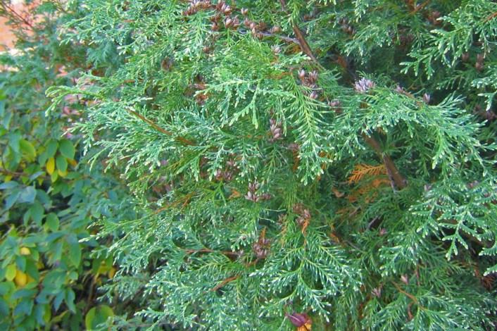 Vitbrokig tuja, Thuja occidentalis 'Alba'