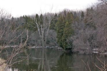 Thuja occidentalis, vildväxande i Ontario
