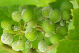 Powdery mildew infection of young berries