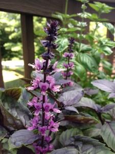 Flowering purple basil on my patio. I also grew Italian basil and Thai basil. Photo by Anastasia Bodnar.