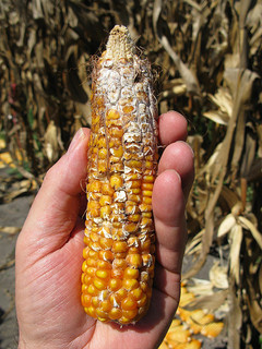Maize ear showing cottony growth caused by Fusarium ear rot (Gibberella fujikuroi, anam. Fusarium moniliforme). The fungus produces the mycotoxin fumonisin. Photo by Thomas Lumpkin of CIMMYT via Flickr.