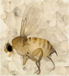 Image of Apocephalus borealis, coutesy of Core et. al 2012