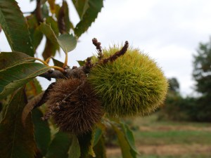 Two Chestnut burrs