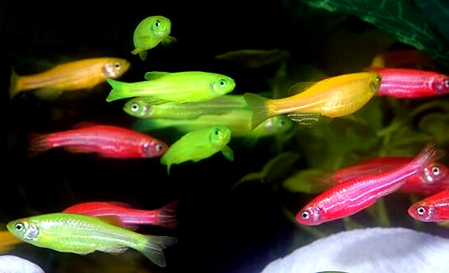 Ask Frank N. Foode™ about Glofish