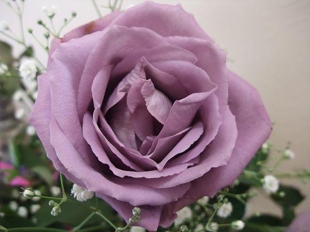 GMO rose