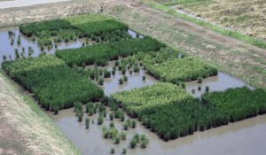 Test plots of rice that were flooded. Some plots are tolerant to flooding while some are intolerant and die. Credit Dave Mackill