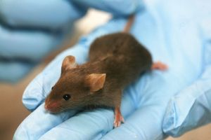 Laboratory mouse by Rama via Wikimedia.