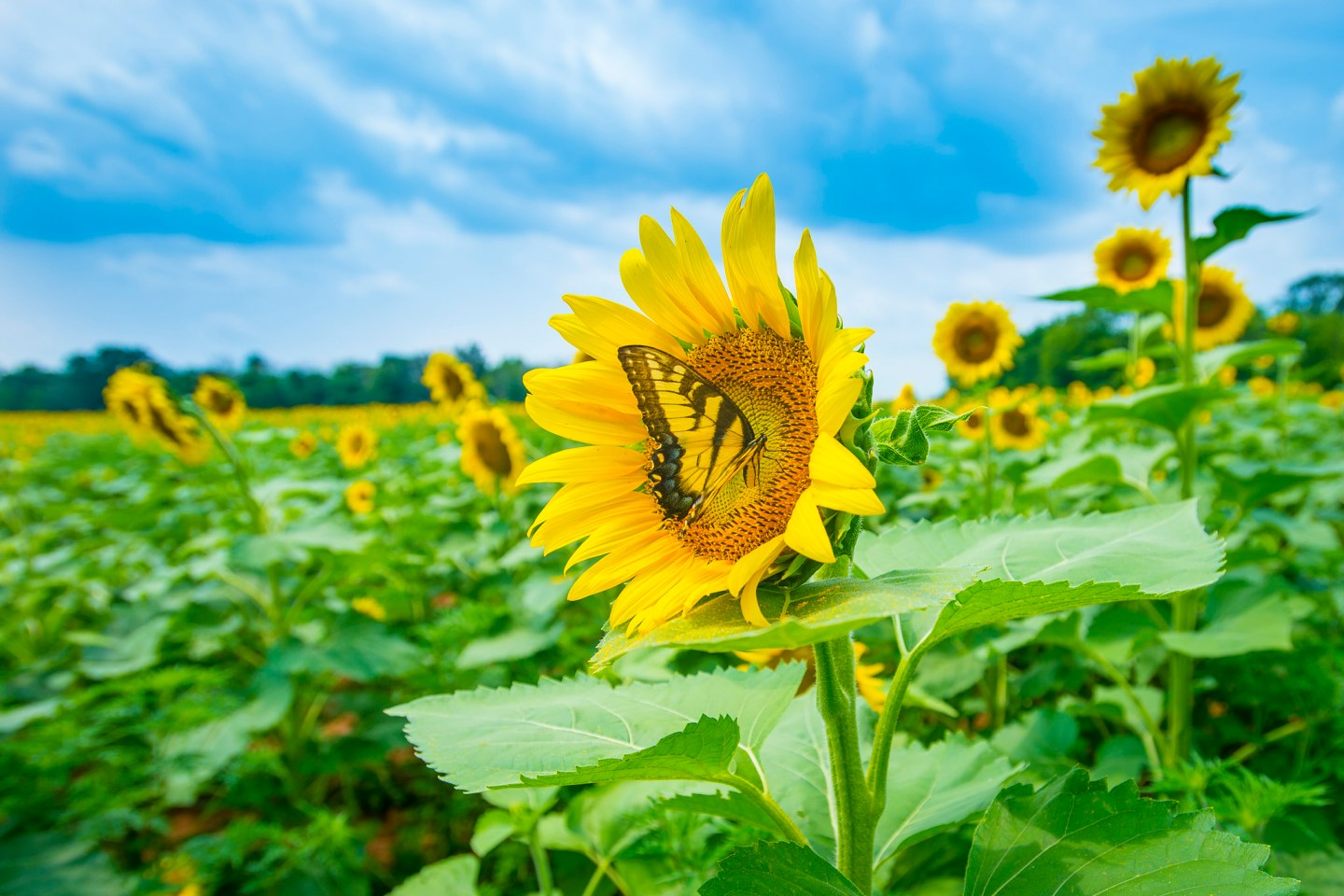 butterfly visits a sunflower