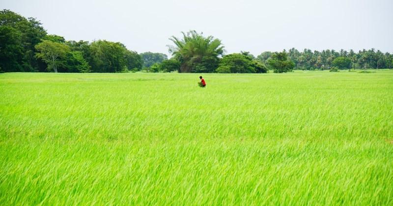 one worker in rice field