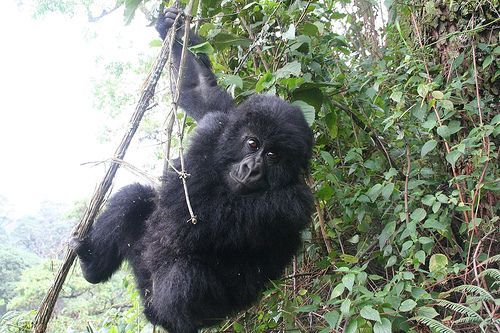 Gorilla in Rwanda by schacon via Flickr