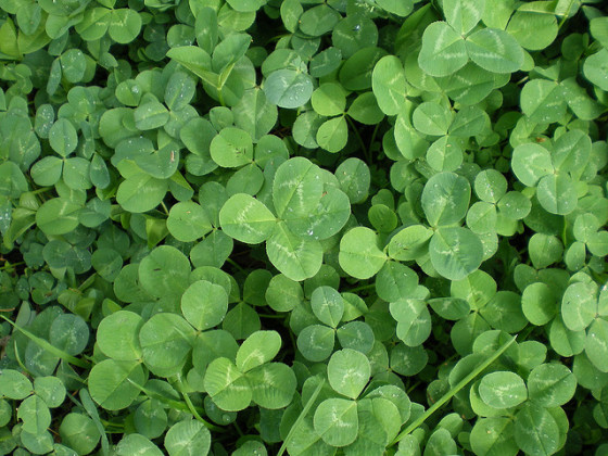 St. Patrick's Day clover green