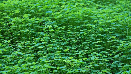 green field of clover