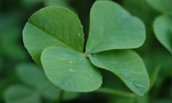 Four leaf clover image by John via Flickr Creative Commons license.