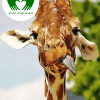 Giraffes | Green Wings Award