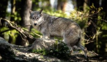 The Gray Wolf | Photo of the Day