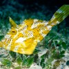 Yellow Filefish