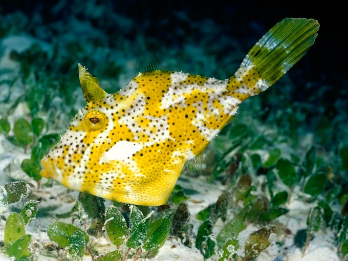 Weedy Filefish