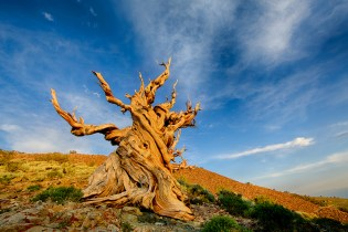 The World's Second Oldest Tree