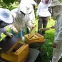 Bienen abfegen