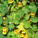 gelbe Kapuzinerkresse