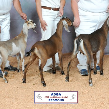 Daughters: 2nd place Junior Get of Sire 2019 ADGA National Show