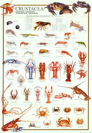 Investigação: crustáceos permitem regenerar pele