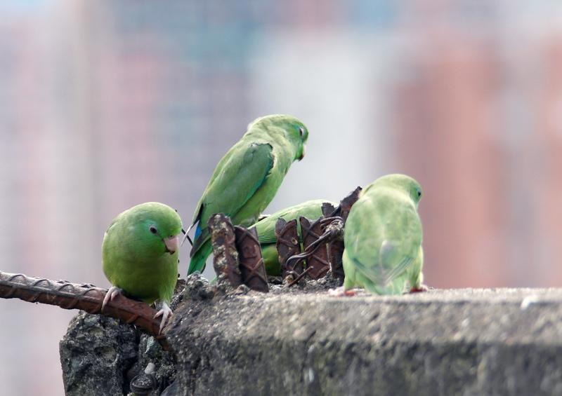 Mengenal Jenis Burung Kacer Berdasarkan Ciri Fisiknya