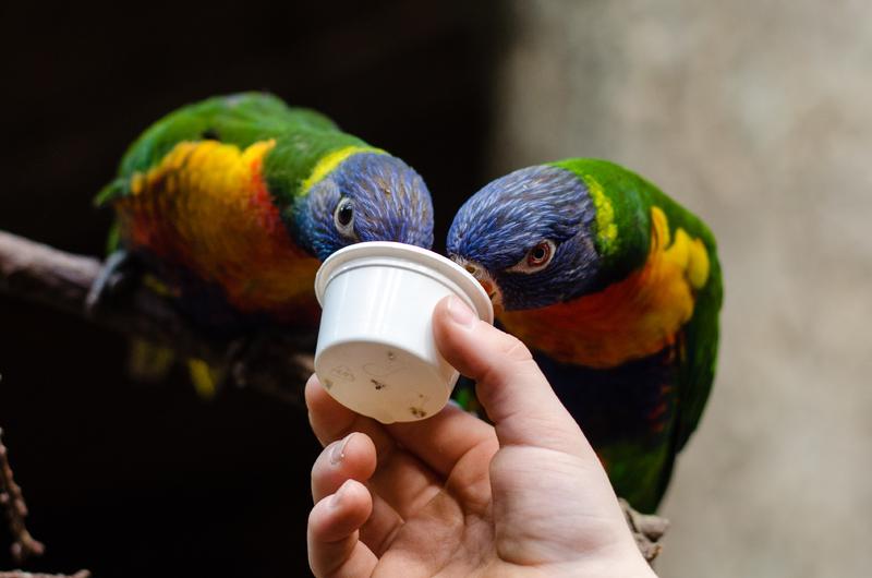 Cara Melatih Burung Beo