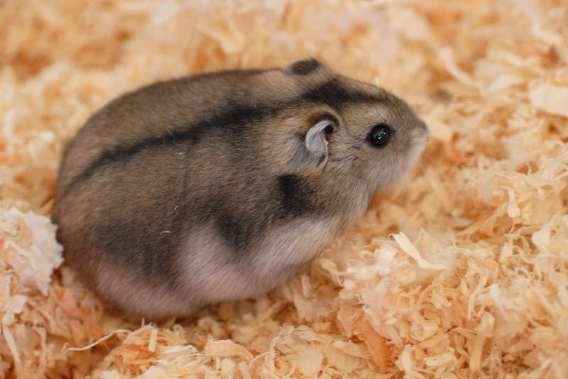 How to Learn Your Hamster to become Tame