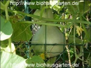 Kalebasse (Flaschenkürbis)