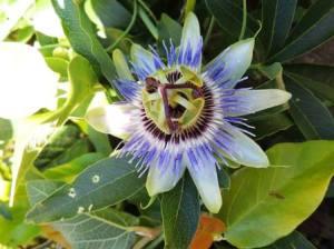 Passionsblume (Passiflora)