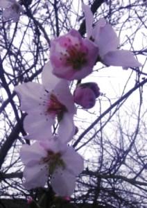 Blühender Zweig des Mandelbaums