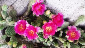 Feigenkaktus Opuntie Blüte
