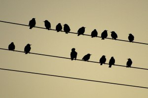 birds_on_far_banks_power_line