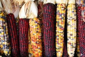 exemple d'effet des éléments transposables chez le maïs