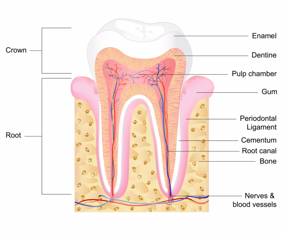 Dental Stem Cells - Anatomy | BioInformant