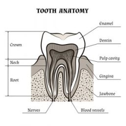 Tooth Anatomy | Advanced Dental Care: Guide to Dental Stem Cell Companies