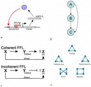 Fig: 2. Different types of loops and motif in biological networks; a. auto-regulation, b. feed forward motif, c. coherent and incoherent loops, d. different types of patterns (motifs), commonly occurring in biological networks. They all occur in almost every biological system and represent a specific regulatory functional unit. (Courtesy- Google Images)