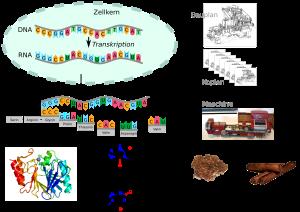 Vom Gen (Bauplan) zum Protein (Mashine)